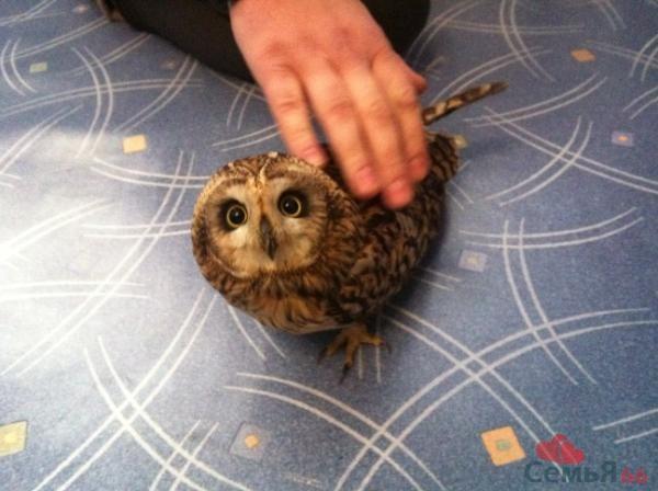 Как сделать сову в домашних условиях