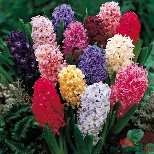 Описание и цветов гиацинт